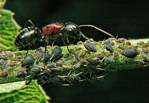 ant aphids