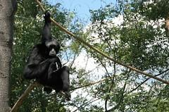 great ape(0.0), ape(0.0), wildlife(0.0), chimpanzee(1.0), animal(1.0), zoo(1.0), primate(1.0), fauna(1.0), spider monkey(1.0), new world monkey(1.0), jungle(1.0),