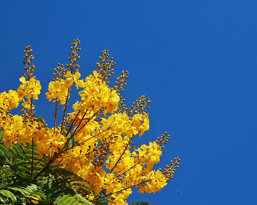 Yellow Flame Tree