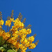 Yellow Flame Tree by NatashaP
