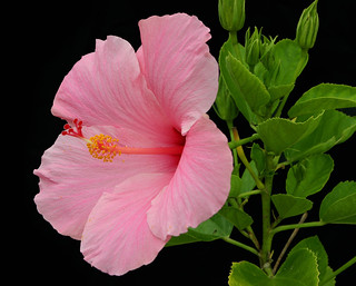 Big Fat Pink Hibiscus