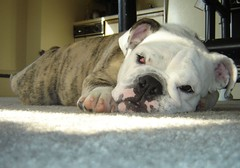 dog breed, animal, dog, old english bulldog, british bulldogs, pet, olde english bulldogge, white english bulldog, toy bulldog, american bulldog, carnivoran, bulldog,