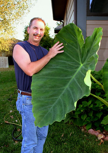 My dad's giant elephant ear plant