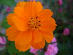 calendula(0.0), garden cosmos(0.0), plant(0.0), annual plant(1.0), flower(1.0), yellow(1.0), macro photography(1.0), herb(1.0), flora(1.0), sulfur cosmos(1.0), cosmos(1.0), petal(1.0),