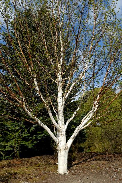 Betula utilis – paperbark birch