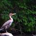 Sitting Cormorant