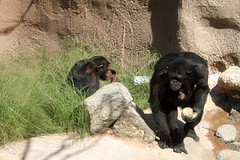 chimpanzee(1.0), animal(1.0), baboon(1.0), monkey(1.0), mammal(1.0), great ape(1.0), fauna(1.0), common chimpanzee(1.0), old world monkey(1.0), ape(1.0),