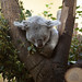 koala image, photo or clip art