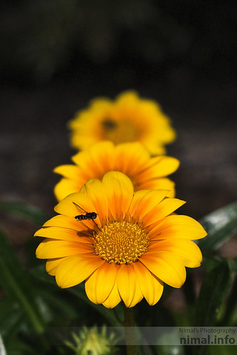 Bee on Sunflower by Nimal S