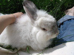 animal, rabbit, domestic rabbit, pet, fauna, angora rabbit, whiskers, rabits and hares,