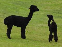 pumi(0.0), pet(0.0), alpaca(1.0), animal(1.0), camel-like mammal(1.0),