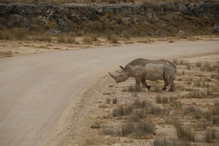 Black rhino crossing