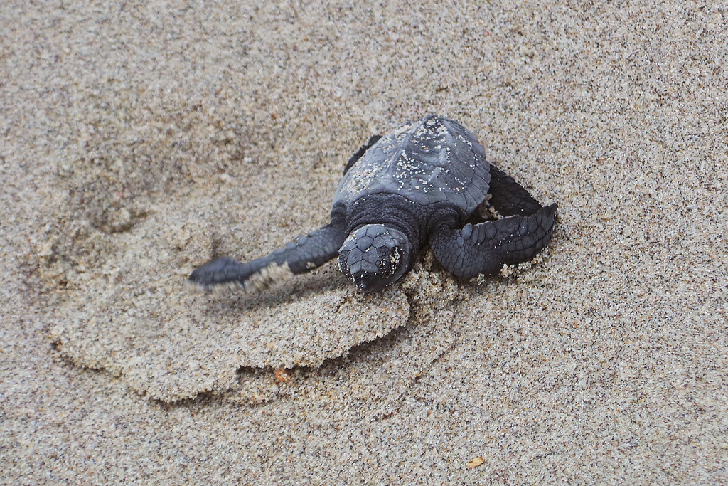 Manuel Antonio Olive Ridley Sea Turtles, Costa Rica