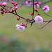 Chinese Mei flower