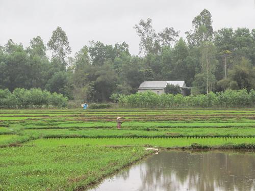Hué: les rizières sur la route des Tombeaux Impériaux