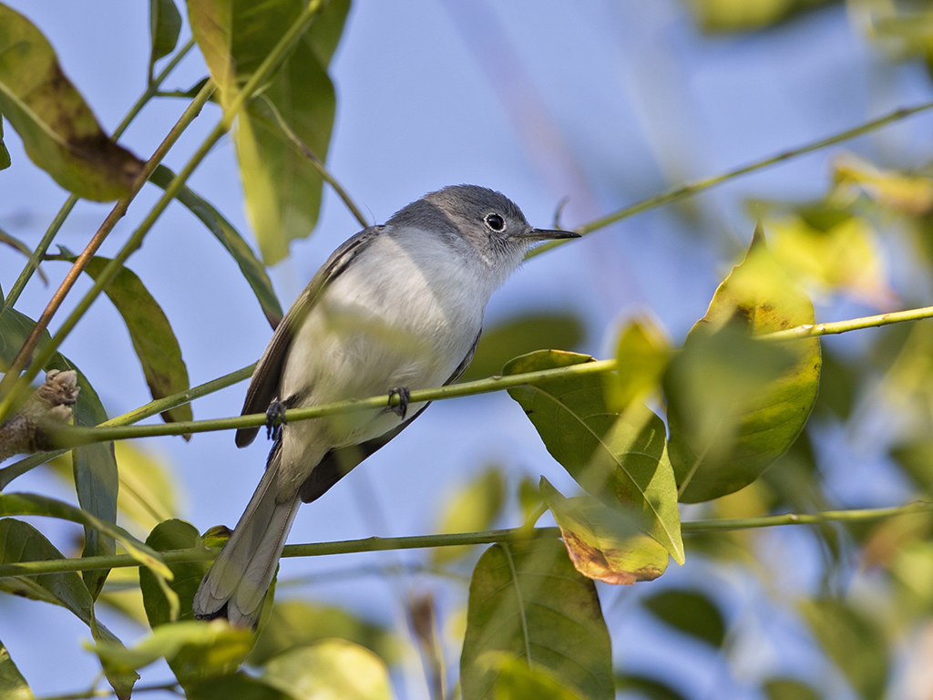 Blue-grey Gnatcatcher      Cuba