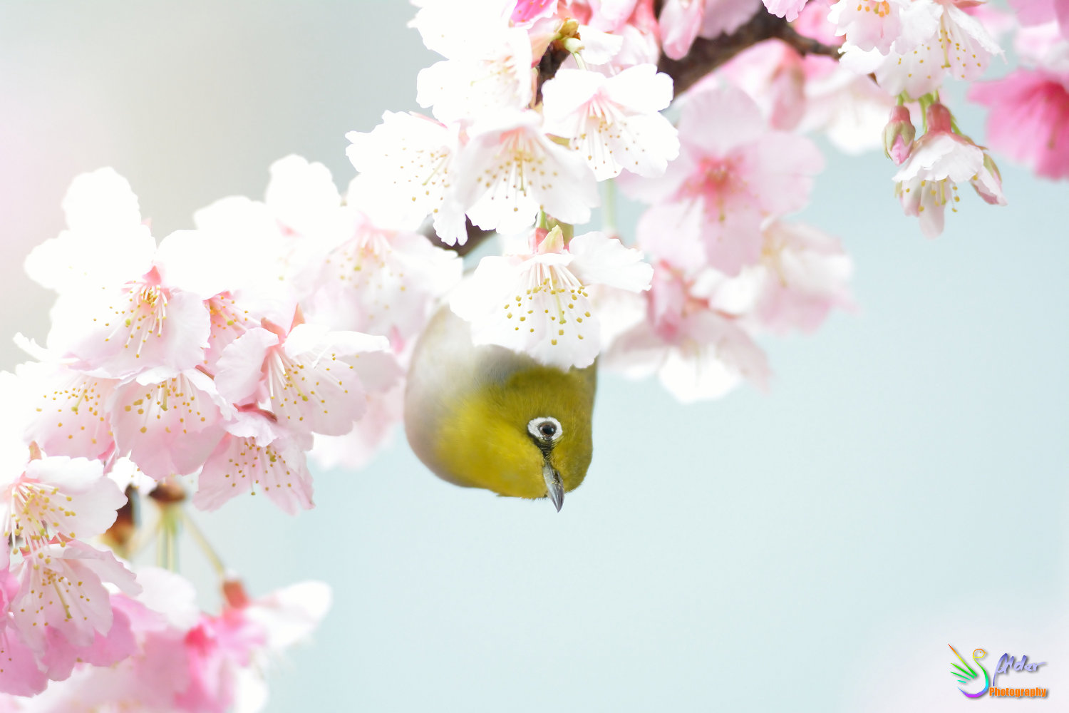 Sakura_White-eye_7236