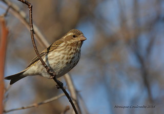 Roselin pourpré femelle - Purple Finch female
