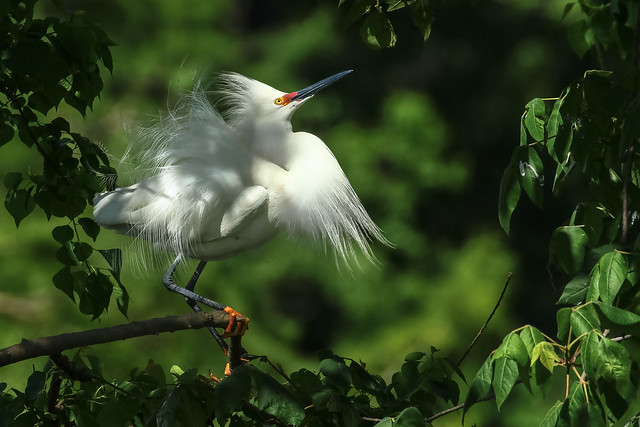 Snowy Egret - Full Breeding Plumage