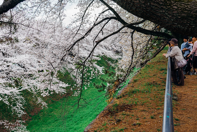 CherryBlossoms_155