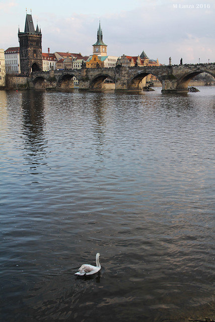 Swan and the Charles Bridge
