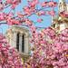 Cherry Blossom in Paris by Loïc Lagarde