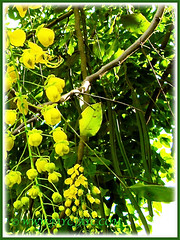 Seedpods of Cassia fistula (Golden Shower Tree/Cassia, Purging Cassia/Fistula, Indian Laburnum), seen in Malacca, Dec 6 2009