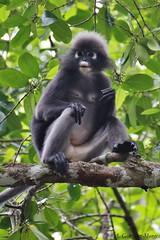Langur de Anteojos / Dusky Leaf Monkey (Trachypithecus obscurus)