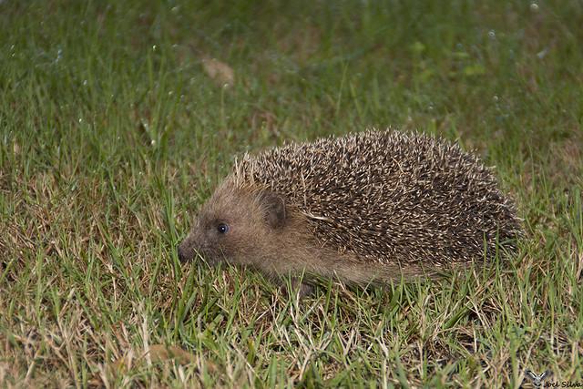 Ouriço cacheiro - European hedgehog (Erinaceus europeus), em NF37-Trofa