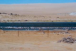 Flamingos in der Lüderitzbucht
