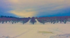 Hedgesville, WV Apple orchard on February 1