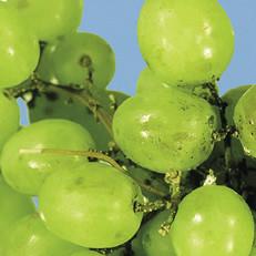 grapes-0014