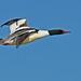 Common Merganser male 1 by SteveJnerChicago