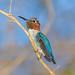 Bee Hummingbird / Zunzuncito (Mellisuga helenae) male by Hoppy1951