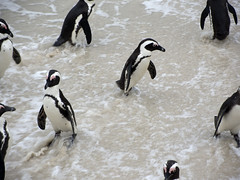 African Penguins by Ellen Jacobs