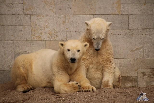 Eisbär Fiete im Zoo Rostock 20.03.2016  035