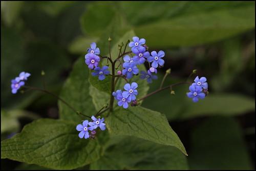 Brunnera macrophylla - buglosse de Sibérie 25852320285_a8a437090f