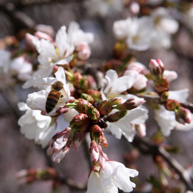 Cherry BlossomsIMG_2612_01