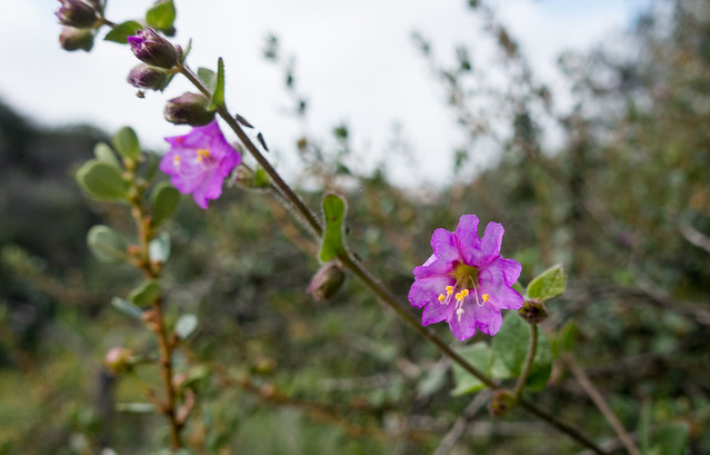 Wishbone bush (Mirabilis laevis)