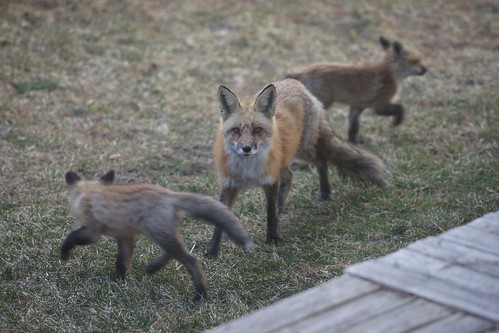 Foxy Neighbours