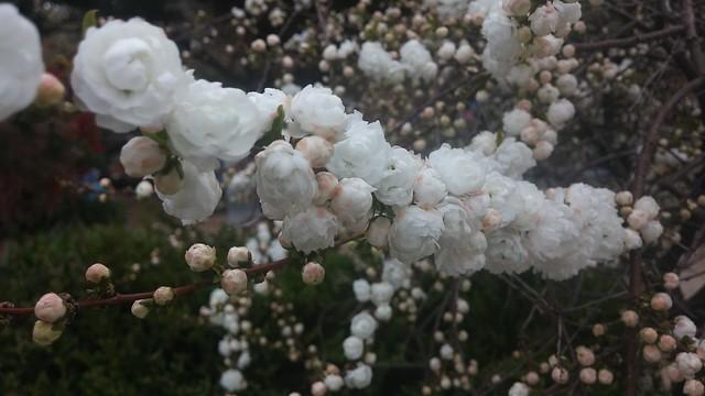 꽃구경: 동네한바퀴
