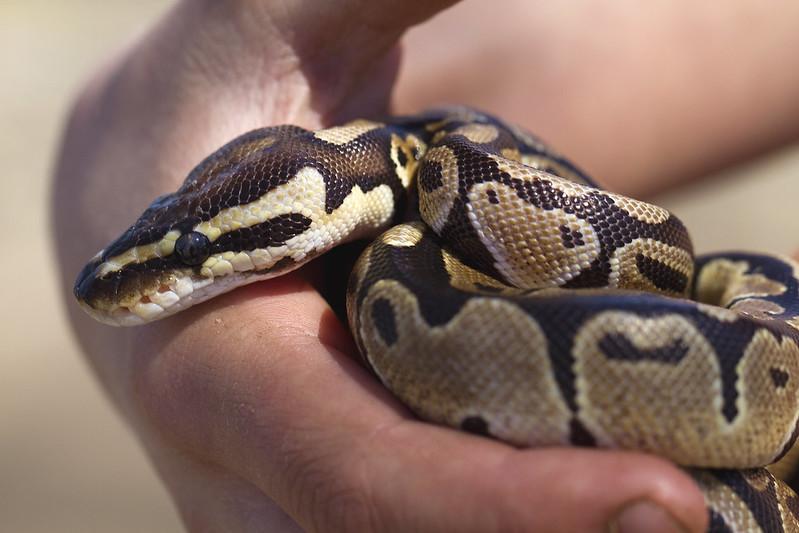 ball python9