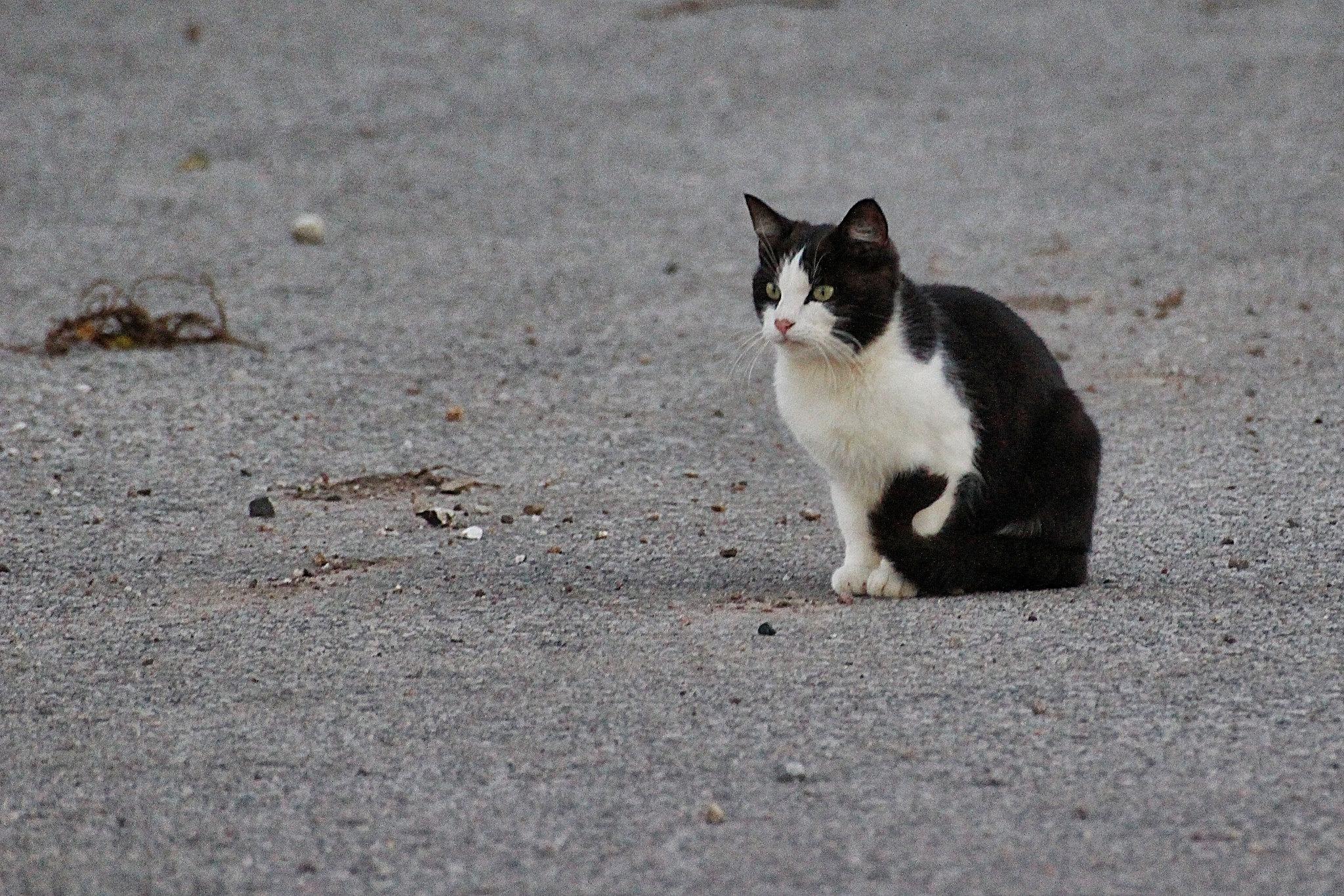 Imagen De Un Gato Blanco Y Negro Sentado