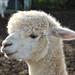 West Wight Alpacas 4th Feb