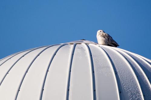 bird wildlife birding ornithology birdwatching oiseau snowyowl faune ornithologie harfangdesneiges