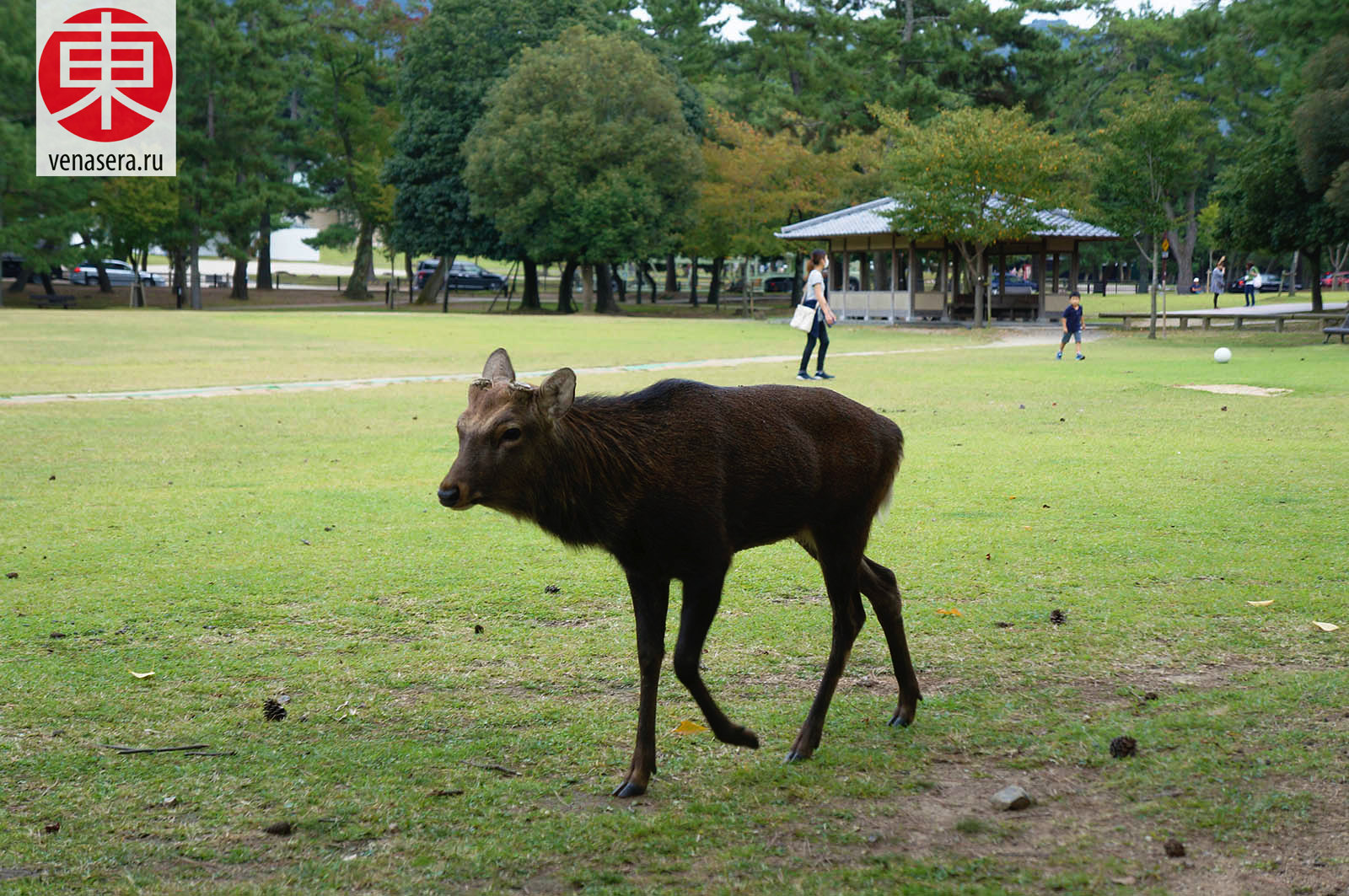 Парк в Нара, Путешествие в Нара, Поездка в Нара, Олени в г. Нара, Парк Нара, Нара, Nara, 奈良, Япония, Japan, 日本.