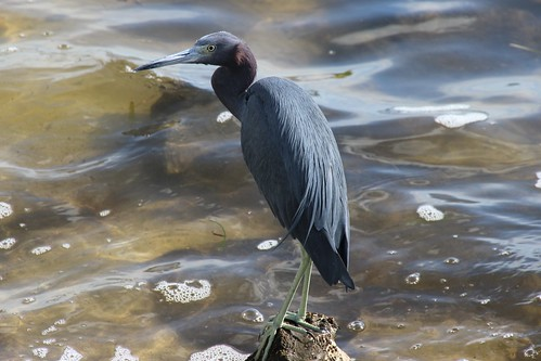 IMG_6958_Little_Blue_Heron_at_Howard_Park