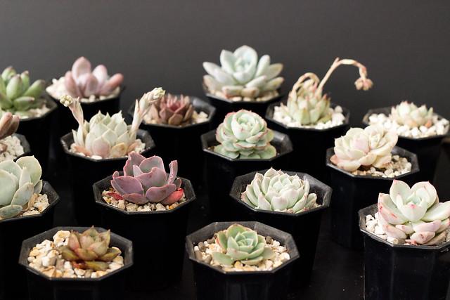 succulents 2.5 size