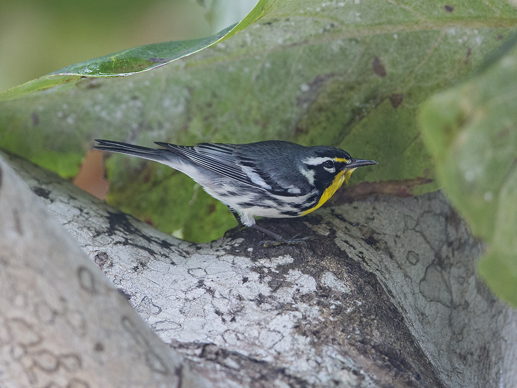 Yellow-throated Warbler      Cuba