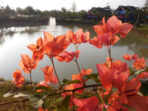 flowers red plants thailand salmon shrubs chiangrai nyctaginaceae ornamentals wiangchai